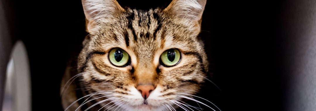 SAFe Rescue Cat