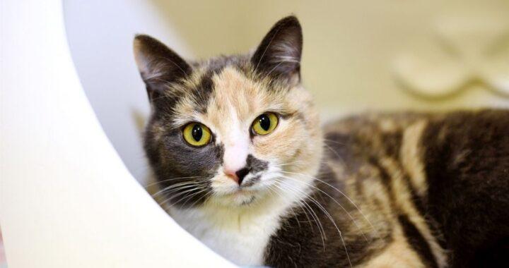 Calico cat sitting in Rescue enclosure